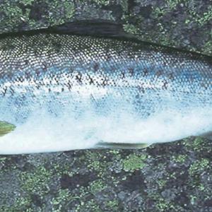 Bilete av fisk