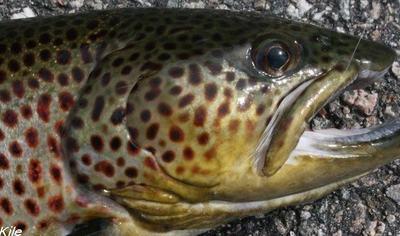 Fisk - foto: Nils Kile