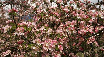 Epletrea blomstrer kraftig, foto jh