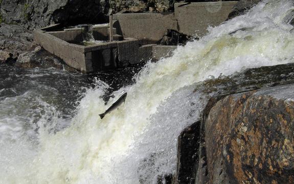 Foto som syner ein laks på veg oppover ei kvitskummande elv. I bakgrunnen ser vi ei laksetrapp. Foto: Bjørn Nesheim, Wikimedia Commons