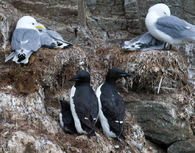 Kittiwakes_guillemots_OVarpe