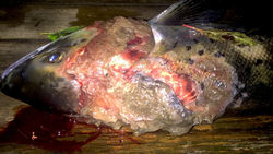 Syk fisk 2