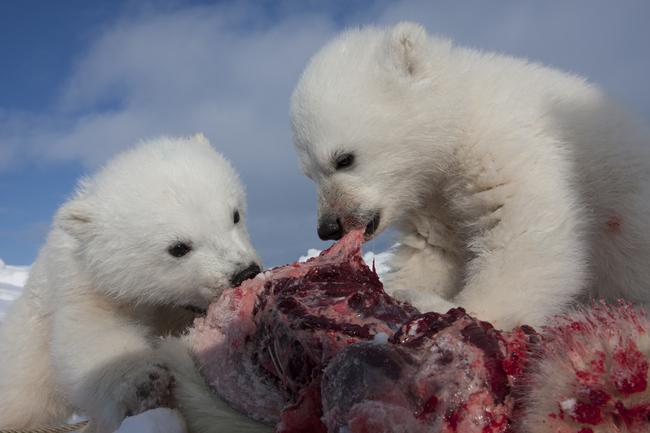 Isbjørnunger spiser selkjøtt_650x433.jpg
