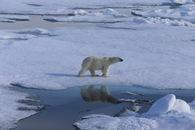 Polar bear ice Magnus Andersen