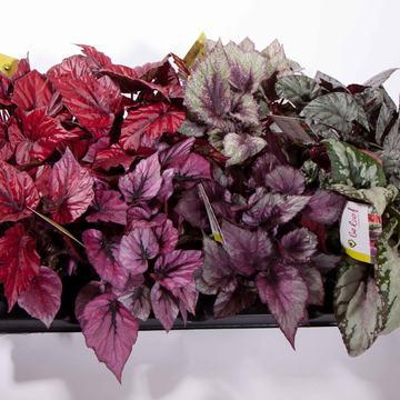 Flott plante med flotte blad