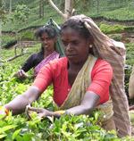 Teplantasjearbeidere i Matale