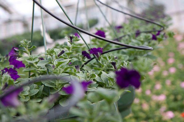 Drivstua blomster april-38