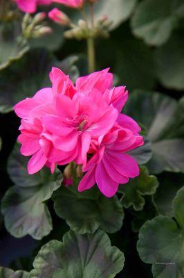 Pelargonia Stardom Brigth Pink