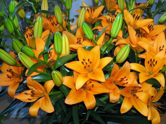 Lilje orange