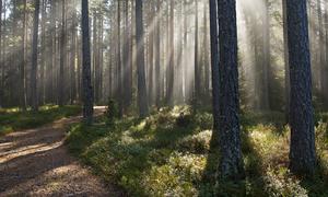Skoglandskap