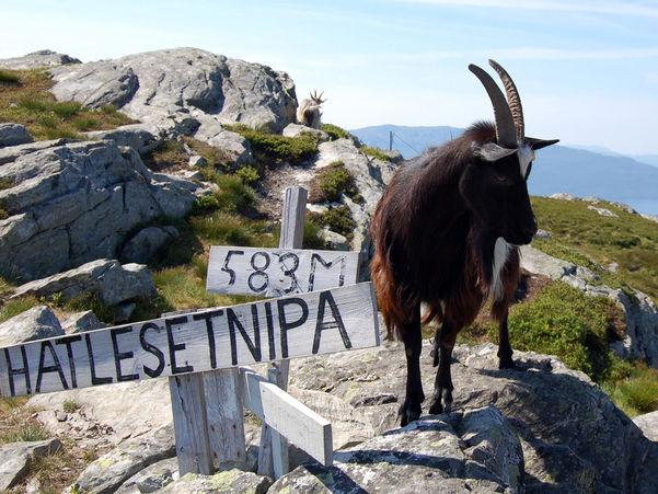 Brun geit på Hatlesetnipa, 583 meter over havet. Foto: Arne Hjort Johansen