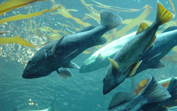 Foto som syner ein stim av laks under vatnet. Biletet er teke frå under vassoverflata. Foto: Melissa Doroquez, www.flickr.com