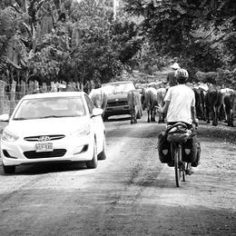 bilar, sykkel og kyr på vegen.