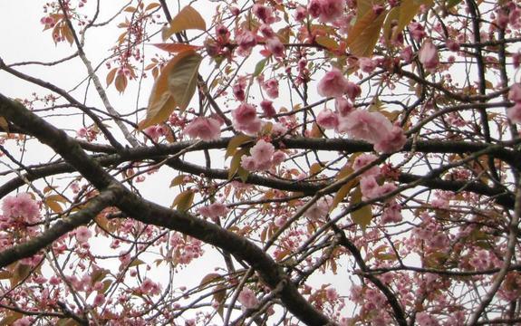 Nærbilde av morelletre med rosa blomar.