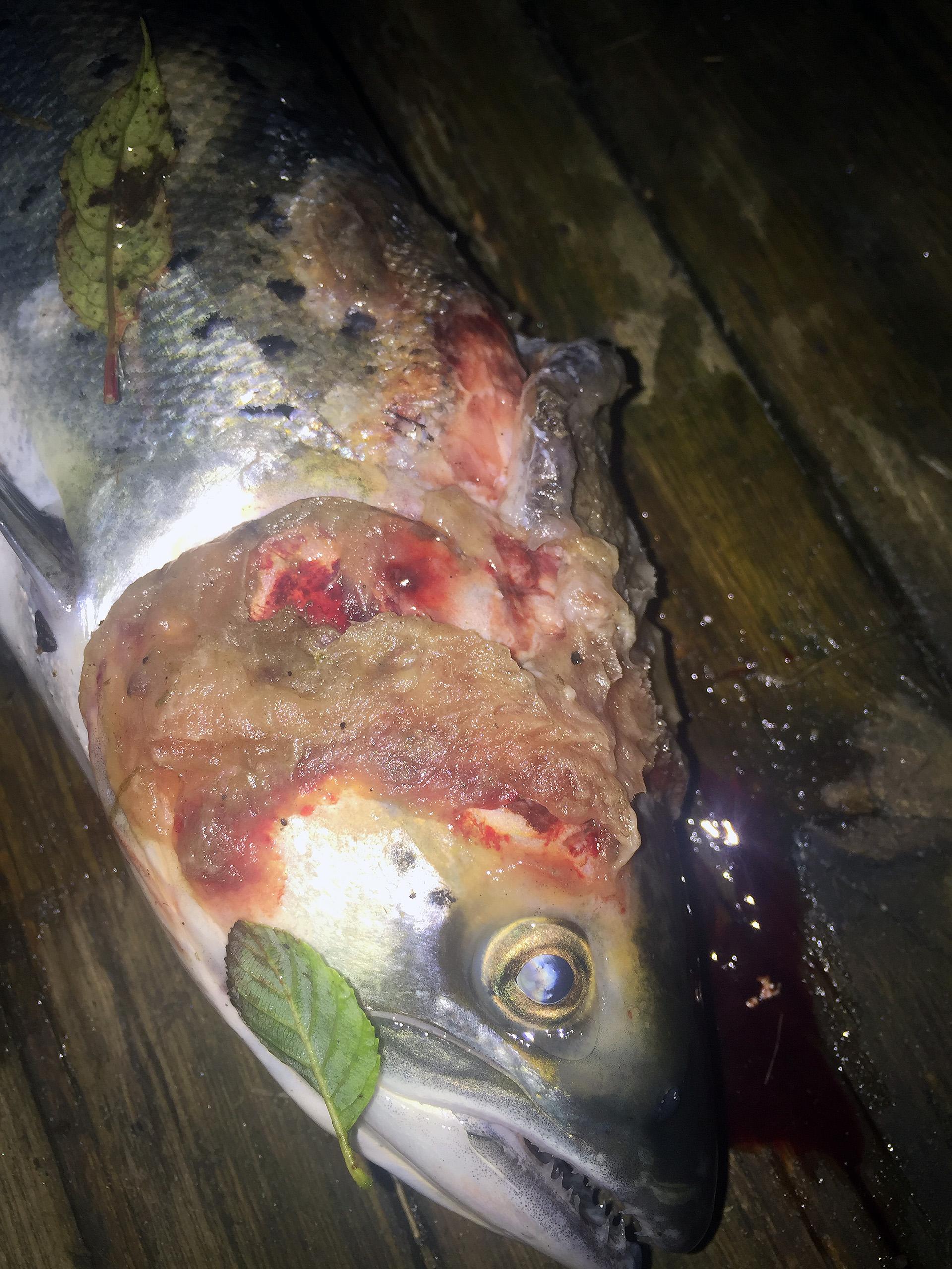 Syk fisk 1.jpg