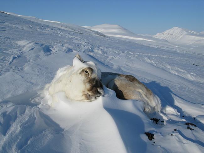 Død Svalbardrein[2].JPG