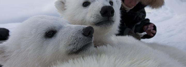Bedøvet isbjørnbinne med unger