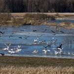 Fugler samles i Hæra naturreservat