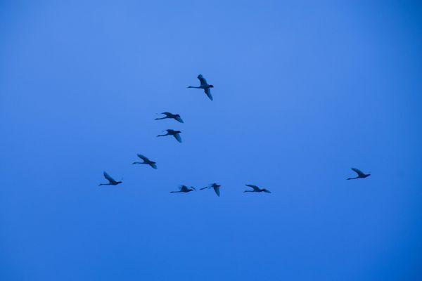 Gjess i v-formasjon-flyr til syden