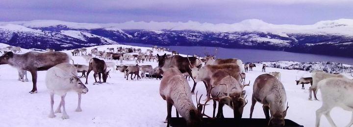 Bilde 1 - Tilleggsfôring av reinsdyr på fritt beite - Foto Tom Lifjell_cropped