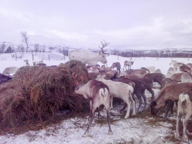 Bilde 2 - Reinsdyr som spiser grovfôr i rundball - Foto Tom Lifjell_cropped_650x487.jpg