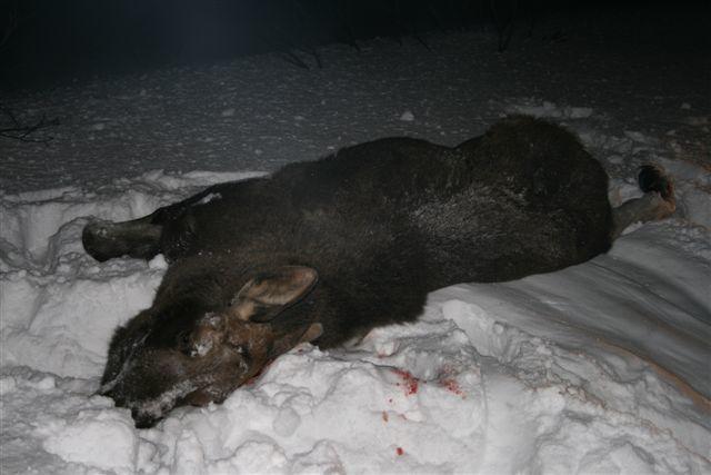 Elgpåkjørsel - død elg