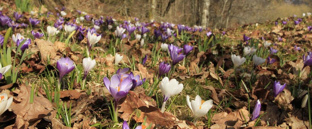 Krokus i blomst på Lunde