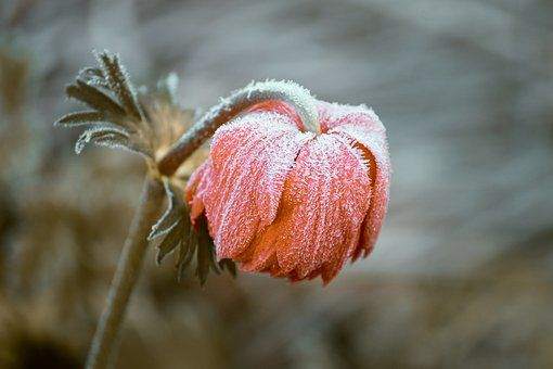 Frossen blomst