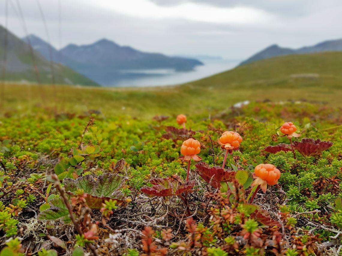 Multer. Foto Maja S. Kvalvik