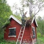 Dugnad på Fjørtofthytta. Torv og trær fjernes fra taket. Foto: Tine Marie Valbjørn Hagelin