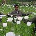 Opiumsvalmuer fra UNODC